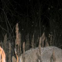 Coyote-Otsego-Michigan